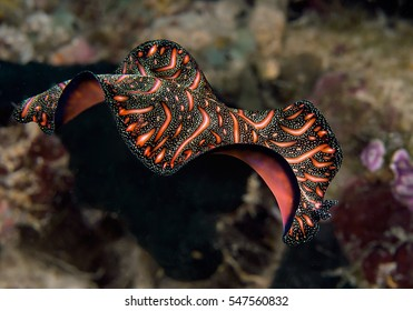 Persian carpet flatworm ( Pseudobiceros bedfordi ) swimming at night over coral reef of  Bali, Indonesia