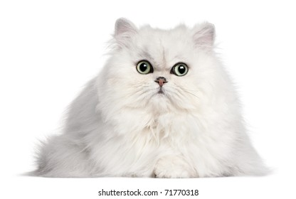Persian cat, 2 years old, in front of white background