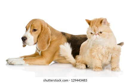 persian cat and Beagle in profile. isolated on white background