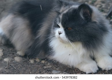 Persian cat breed, gray and white lovely