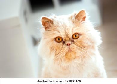 Persian Cat Glance