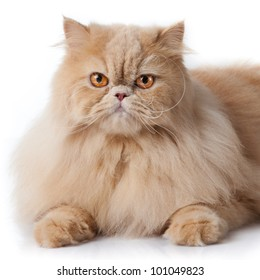 persian cat isolated on white. Persian cat portrait