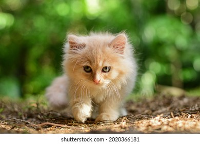 """The Persian cat is a long-haired breed of cat characterized by its round face and short muzzle. It is also known as the """"Persian Longhair"""" in the English-speaking countries."""