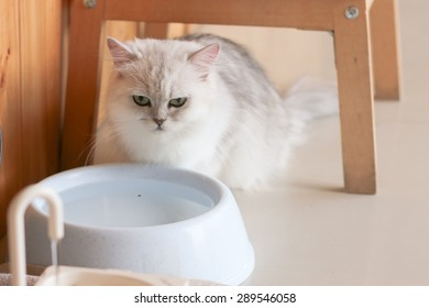Persian cat looks mad in front of bowl