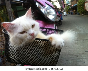 Persian cat lying on the front of a pink car Parked on the street
