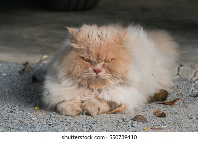 Persian cat on ground
