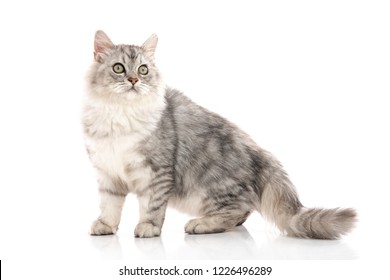 Persian cat on white background,isolated