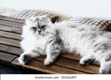Persian cat on a wooden chair