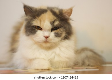 Persian cat is parti-coler on the table