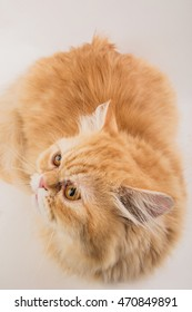 Persian cat photographed on a white background.