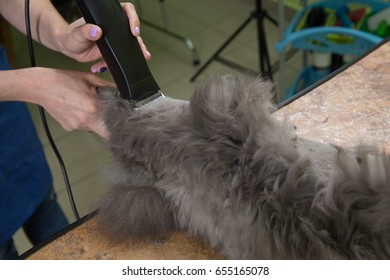 Persian cat sheared in the beauty salon for the animals.
