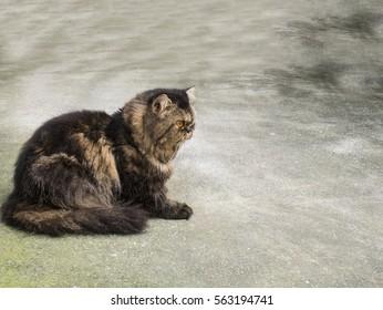 Persian cat sit on the floor