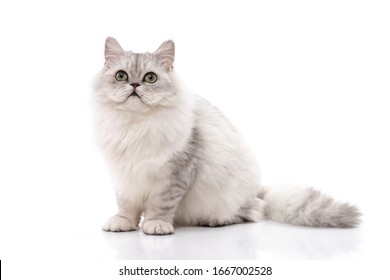 Persian cat sitting on white background,isolated