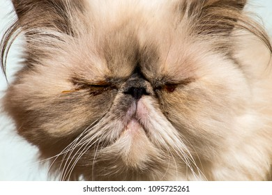 Persian cat with sore eyes
