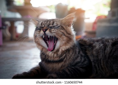 Persian cat species is yawning with morning light.