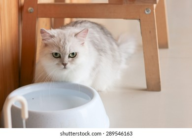 Persian cat is standing in front of bowl look at something