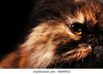 Persian cat in turtle colors on black background