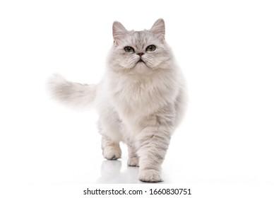 Persische Katze, die auf weißem Hintergrund läuft, einzeln