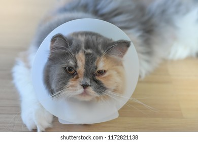Persian cat wearing a protective collar also called Elizabethan Collars or E-Collars for Cats