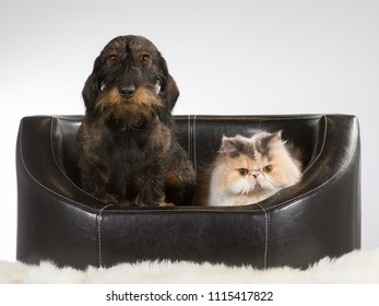 Persian cat and a wiener dog together. Image taken in a studio.