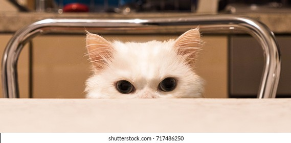 Persian Cat/Big Brother is watching you