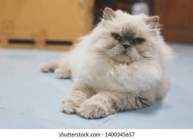 Persian cats mixed Aryan  White and gray
