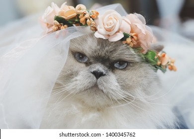 Persian cats mixed Aryan  White gray, wearing a crown of orange flowers and vail
