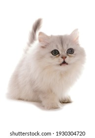 Persian chinchilla kitten isolated on a white background