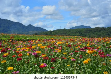 The Persian chrysanthemum fields next to the mountains in the sun, the red and yellow flowers bloom in the cosmos.