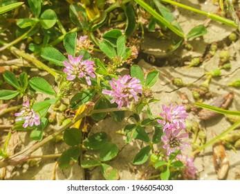 Persian clover plant, Trifolium resupinatum, growing in Arousa Island, Galicia, Spain