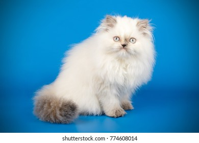 Persian color-point kitten