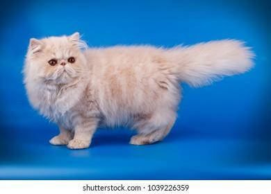 Persian cream kitten