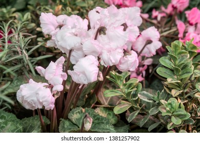 Persian Cyclamen (Cyclamen persicum) in greenhouse
