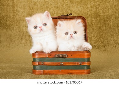 Persian and Exotic kittens sitting inside small suitcase luggage on green background