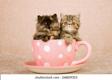 Persian and Exotic kittens sitting inside large pink cup with white polka dots on beige background