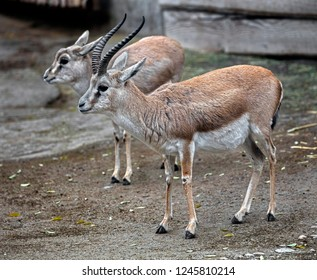 Persian goitered gazelle. Latin name - Gazella subgutturosa