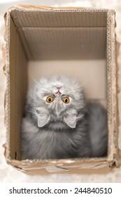 Persian gray cat in a cardboard box