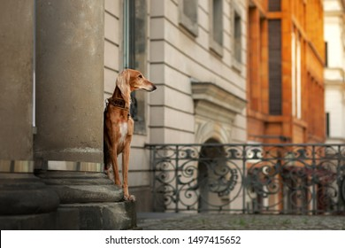 persian greyhound dog in the city on a background of old architecture.