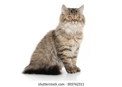 Persian kitten 3 months old sitting in front of white background