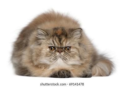 Persian kitten, 6 months old, lying in front of white background