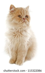 persian kitten in front of a white background