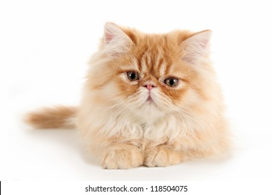 Persian kitten lying on a white background
