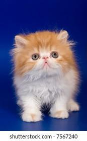 Persian kitten on blue background.