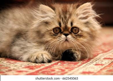 Persian Kitten on a Persian carpet