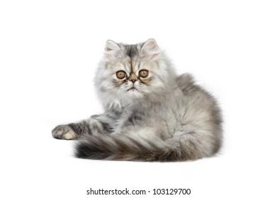 Persian kitten on a white background
