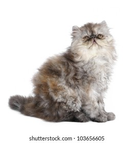Persian kitten in studio on a white background