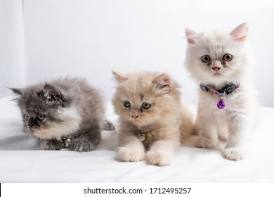 Persian kitten White background. 45 days old Cute