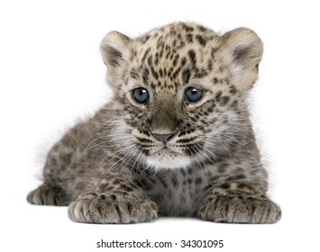 Persian leopard Cub (6 weeks) in front of a white background