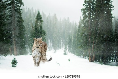 Persian leopard in the snow