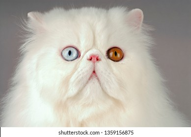 Persian odd eyed cat